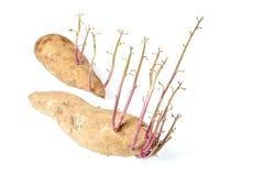 Sweet potato sprout Stock Photos