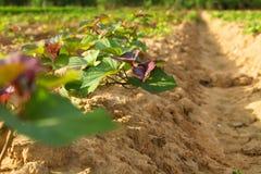 Sweet potato tree. In row at farm Stock Photo
