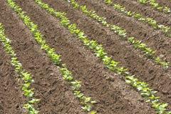 Sweet potato vegetable patch Stock Image