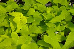 Sweet potato vine Royalty Free Stock Images