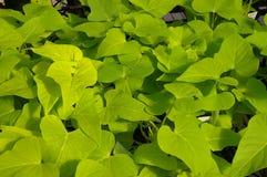 Sweet potato vine Royalty Free Stock Images