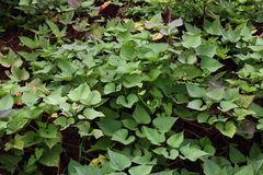 Sweet potato vine Royalty Free Stock Photo