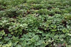 Sweet potato vine Stock Images