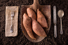 Sweet Potato Yams. Organic farm to table healthy eating concept on soil background Royalty Free Stock Photos