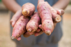 Sweet potatoes in farmer hands. royalty free stock photography