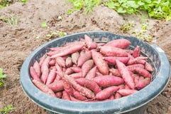 Sweet potatoes. Heap of sweet potatoes in farm Royalty Free Stock Image