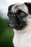 Sweet pug Royalty Free Stock Image