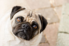 Sweet Pug Face. A sweet little pug looks up into the camera Royalty Free Stock Photography