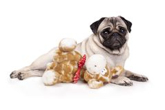 Sweet pug puppy dog lying down like a model, with stuffed animal giraffe,