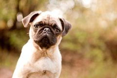 Sweet pug puppy face stock image