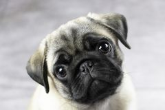 Sweet pug puppy face. Portrait of a pug puppy, cute funny face close up stock photos