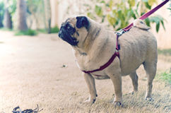 A sweet pug waiting patiently in the garden - II Stock Photo