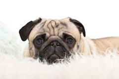 Sweet pug is watching Royalty Free Stock Images