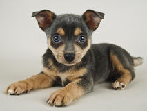 Sweet Puppy Stock Photography