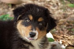 Sweet puppy Royalty Free Stock Photo