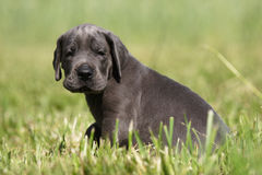 Sweet puppy!. Portrait photo of puppy of Great Danes Kennel Royalty Free Stock Images