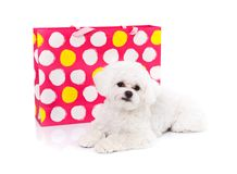 Sweet puppy. Adorable bichon puppy lying in front of a gift bag - white background Stock Images