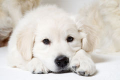 Sweet puppy stock photos