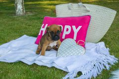 Sweet puppy boxer sitting on a white blanket in front of a pink stock photography