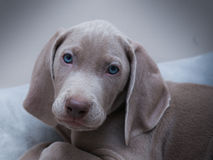 Sweet puppy Stock Image