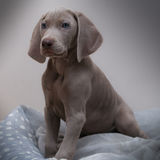 Sweet puppy. A delicius and sweet puppy dog breed weimaraner whit blue eyes Stock Photo