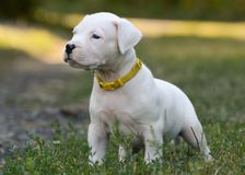 Puppy Dogo Argentino standing in grass. Front view. The sweet puppy Dogo Argentino standing in grass. Front view royalty free stock photos