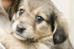 Sweet puppy with human Royalty Free Stock Photo