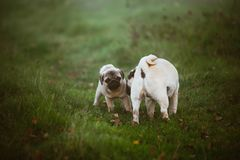 A puppy dog, pug with a scared face and its mother who is sniffing it on a green dark grass, meadow, field or in a garden royalty free stock images