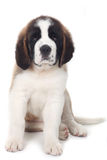 Sweet Puppy Saint Bernard on a White Background Stock Images