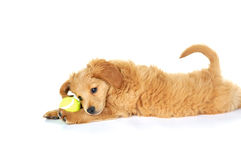 Sweet Puppy with a Tennis Ball Royalty Free Stock Images