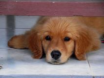 Sweet puppy. Two month old golden retriever puppy lying under the table and stared at his owner Stock Photos