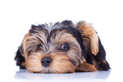 Sweet puppy Yorkshire laying Stock Photos