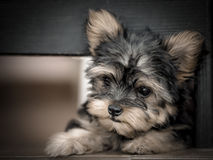 Sweet puppy Stock Images