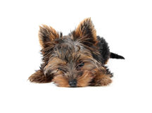 Sweet puppy Yorkshire Terrie royalty free stock image