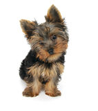 Sweet puppy Yorkshire Terrier Stock Photo