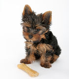 Sweet puppy Yorkshire Terrier Royalty Free Stock Photography