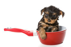 Sweet Puppy Yorkshire Terrier in a red pot Royalty Free Stock Photo