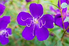 Sweet purple flower with five petals and long stamens Stock Images
