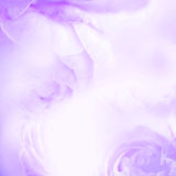 The sweet purple rose flowers for love romance background Royalty Free Stock Photography