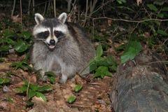 Sweet raccoon Stock Image