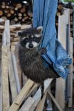 A sweet racoon - baby hangs on  jeans Royalty Free Stock Photo