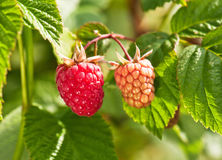 Sweet raspberries Stock Photo
