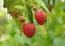 Sweet raspberries. On the bush Stock Photo