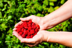 Sweet raspberry. Collected in the hands of a sweet raspberry Royalty Free Stock Photo