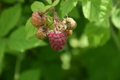 Sweet raspberry on the bush in my garden royalty free stock photography