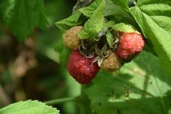 Sweet raspberry on the bush in my garden stock photos