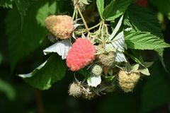 Sweet raspberry on the bush in my garden royalty free stock image