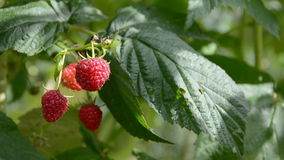 Sweet raspberry on bush and  wind stock footage