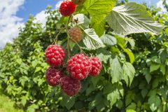 Sweet raspberry Stock Images