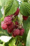 Sweet red. Raspberry crop Royalty Free Stock Photos